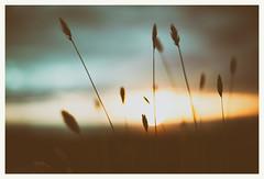 - (Frank S. Schwabe) Tags: planart1450 ze zeiss karihola kristiansund sunset straws