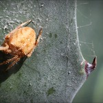 Cat Faced Spider on Agave thumbnail