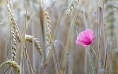 Alone (inmyeyespictures) Tags: getreide mohn feld field poppy cereals makro macro