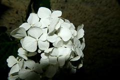 White elegance (LaDani74) Tags: macro white nature hydrangea ortensia garden canoneos760d