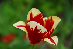 Graphics Nature (petrk747) Tags: slovakia easternslovakia graphicsnature nature flora flower flowers tulip nikon nikond200 outdoor garden saariysqualitypictures magicmomentsinyourlifelevel3