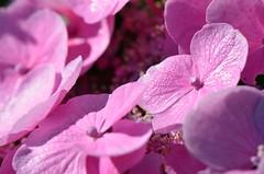 Pink solar plant (dfromonteil) Tags: plant plante fleur flower pink rose color macro bokeh nature light sunny summer hydrangea