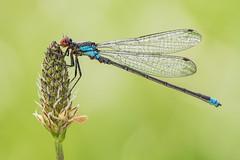 Erythromma najas (Prajzner) Tags: erythrommanajas redeyeddamselfly damselfly odonata sigma105mmmacro nikond7100 naturallight macro poland prajzner