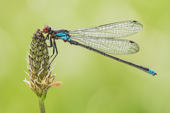 Erythromma najas (Prajzner) Tags: erythrommanajas redeyeddamselfly damselfly odonata sigma105mmmacro nikond7100 naturallight macro poland prajzner dofstacking