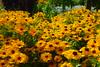 Rudbeckia Roundabout (Dave Roberts3) Tags: rudbeckia blackeyedsusan wales gwent newport flowers yellow coedmelyn citrit