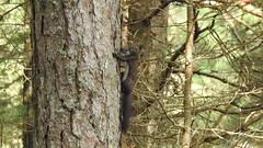 Orav (Sciurus vulgaris) Red Squirrel (eerokiuru) Tags: orav sciurusvulgaris eichhörnchen redsquirrel