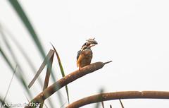 Common kingfisher (asheshr) Tags: beautifulbird beautifulbirds beautifulkingfisher bird birdwithacatch birds birdsofindia birdsofmangalajodi birdsofodisha birdsoforissa birdswithafish commonkingfisher commonkingfisherwithacatch commonkingfisherwithafish d7200 kingfisher kingfisherwithacatch kingfisherwithafish mangalajodi mangalajodiwetlands nikon nikond7200 odisha orissa smallbird