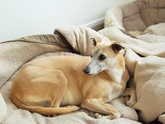 """"""" Betty """" (seanwalsh4) Tags: whippet betty portishead nice dog pet soft quite tan english"""