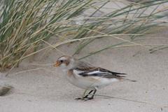 IMG_2541 (tim37401) Tags: snow bunting kinmel bay wales wild beach dunes winter