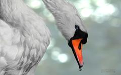 Cisne... () Tags: cisne swan