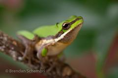 Eastern Dwarf Tree Frog (Litoria fallax) (Brendan Schembri) Tags: litoria fallax caerulea green dwarf tree frog australia queensland brendanschembri