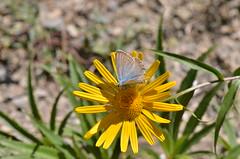 Blue butterfly (dfromonteil) Tags: blue bleu yellow jaune butterfly papillon flowerfleur green vert couleurs colors sunlight macro bokeh nature