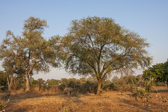 Zambia_LionCamp_228_elephant (atkiteach) Tags: zambia southluangwanationalpark southluangwa safari safaricamp camp nature naturereserve holiday rural africa lioncamp elephants elephant elephantcalf elephantcalves calf calves