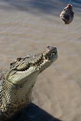 Jumping Croc (matt_penman) Tags: australianwildlife crocjumping croc crocodile