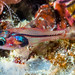 Longspine Cardinalfish, juvenile - Apogon doryssa