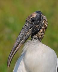 Wood stork portrait (anacm.silva) Tags: cabeaseca woodstork stork cegonha wild wildlife nature ave bird natureza naturaleza birds aves pantanal brasil brazil mycteriaamericana