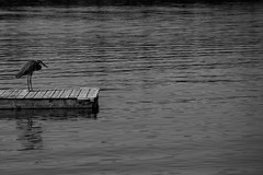 Get off my raft, you crazy kids! (lacygentlywaftingcurtains) Tags: blueheron raft lake ottylake cottage blackandwhite water hunchback grumpy animal wildlife bird nature outdoor outside