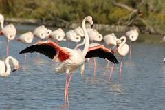 Flament rose au parc ornithologique du pont de Gau - Greater Flamingo (frimoussec) Tags: flament rose au parc ornithologique pont gau greater flamingo oiseau bird aquatique crevette