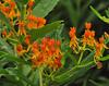butterfly weed Don Mills Aug 1 2016 DSC_1347 (le maudit) Tags: butterflyweed milkwed orange wildflower closeup flower plant