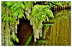 a Japanese picture ... (miriam ulivi) Tags: miriamulivi nikond7200 france normandie giverny fondazionemonet giardinoacquatico watergarden nature green verde whiteflowers riflessi reflections salicipiangenti bambù weepingwillows bamboo glicine wisteria