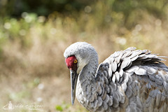 Sandhill_Crane_09_11_16 (Lisa Snow Photography) Tags: sandhillcrane bird