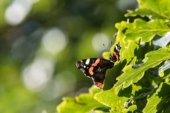 Lazing on a Sunny Afternoon (Tim Melling) Tags: vanessaatalanta red admiral sunshine bokeh oak digley reservoir peak district west yorkshire timmelling