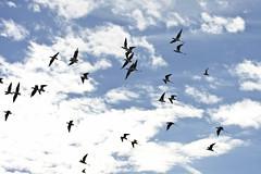 Migrating Black-necked Stilts (Himantopus mexicanus); Belen Wetlands, NM [Lou Feltz] (deserttoad) Tags: wildlife nature newmexico wetlands desert behavior bird wildbird shorebird stilt flight flock water clouds