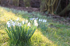 Snowdrops in the sun (TinyTravelTurtle) Tags: snowdrops sun morning light garden nature flowers