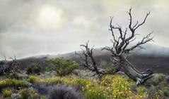 In den Nebelbergen (Sckchen) Tags: hawaii bigisland baum tree nebel fog dassoeckchen