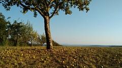 Apfelzeit (mellane.karin) Tags: apfel apfelbaum apple appletree herbst autumn fall fallobst automne pomme