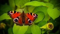 Paon du Jour-2 (Yasmine Hens) Tags: paondujour butterfly papillon yellow yolk an egg thefirstletterofmyname y macromondays vanesse du chardon hensyasmine namur belgium wallonie europa aaa belgi belgia belgien  belgique blgica   belgie  belgio    bel be