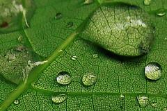 IMG_8084 (danlalan7) Tags: sousbois dtail feuille macro plante vert
