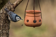 oops!! (loco's photos) Tags: bird birds animals pentax wildlife nuthatch k30 dal55300