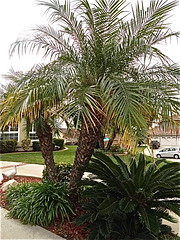 pigmy date palms (Lynn Kelley Author) Tags: landscaping palmtrees planter wana sagopalm lynnkelley pigmydatepalms curseofthedoubledigits bbhmcchiller monstermoonmysteries lynnkelleychildrensauthor