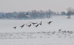 (Els Millenaar) Tags: winter snow geese sneeuw ganzen walcheren kleverskerke