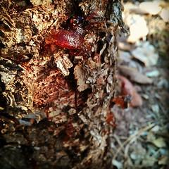 ขี้ซี? -> ยางไม้ #thailand #gum #nature #sunset
