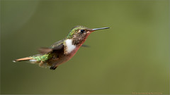Volcano Hummingbird (Raymond J Barlow) Tags: travel red green art nature costarica wildlife adventure avian 200400vr nikond300 raymondbarlowtours