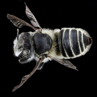 Megachile brevis, F, back, Tennessee, Haywood County_2013-02-14-14.56.30 ZS PMax