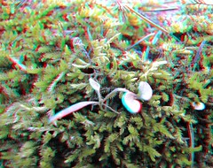 IMG_5525-DM-PlantInMoss-SX1 (EdwardMitchell) Tags: red canon lumix stereoscopic 3d spokane cyan anaglyph powershot sx1 gh2