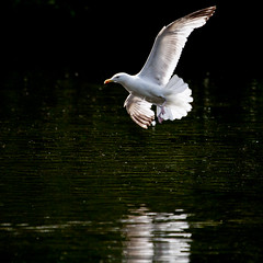 Swooping low (Steve-h) Tags: park pink ireland summer dublin orange white black reflection bird nature water june square eos fly flying blog movement pond europa europe action gull flight eu irland eire squareformat bloggers blogging handheld allrightsreserved 2012 duckpond spotmetering ststephensgreen herringgull aperturepriority swooping canonef100400mmf4556lisusm pliss steveh canoneos5dmkii canoneos5dmk2 june2012 summer2012 canon100400mmtelephotozoom