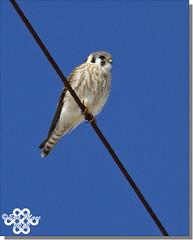 American Kestrel (female) (emace) Tags: approved nature animal wild bird falcon american kestrel raptor