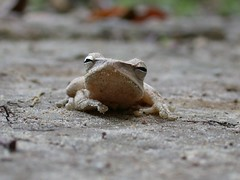 Common Tree Frog (Polypedates leucomystax) (piazzi1969) Tags: nature thailand asia wildlife frogs amphibians herps khaolak polypedatesleucomystax