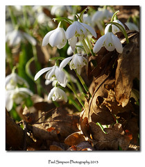Snowdrops and leaves (Paul Simpson Photography) Tags: flowers plant flower nature leaves leaf snowdrops leaflitter photosof imageof normanbypark photoof imagesof paulsimpsonphotography lumiztz30