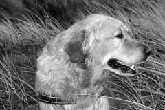 Bruno (Uwe Maeurer) Tags: dog dogs animal animals denmark hund bruno hunde mydog animaladdiction lovelydogs