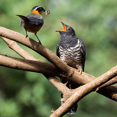 Ruppell's Robin Chat & Red-chested Cuckoo (Zul Bhatia1) Tags: africa tanzania feeding wildlife residence arusha janfeb redchestedcuckoo 2013 broodparasite ruppellsrobinchat copyrightzulbhatia jameswolstencroft