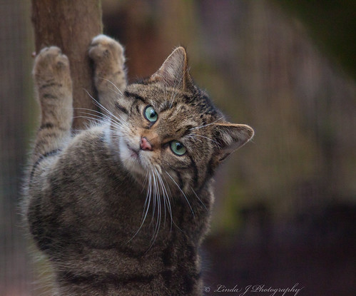 endangered rare scottishwildcat newforestcentre feliscatussilvestris