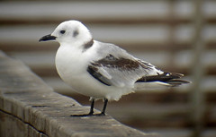 Black-legged Kittiwake (K Schneider) Tags: first cycle rissa kittiwake blacklegged tridactyla ebird