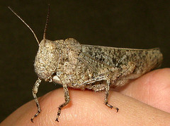 Carolina Grasshopper (adamantine) Tags: newhampshire grasshopper lyndeborough acrididae dissosteiracarolina carolinagrasshopper