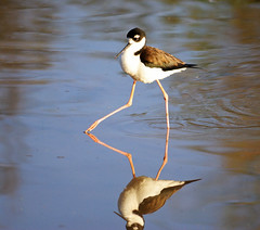 Black-necked Stilt 03/14/13 (VinCar927) Tags: arizona birds riparianranchatwaterpreserve