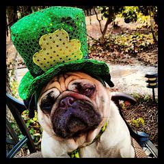 Apparently, anyone can be Irish for a day! (geraldbrazell) Tags: irish dog pug celebration stpatricksday gooddog irisheyes stpattysday columbiasc wearingthegreen irishpug geraldbrazell northeastcolumbiasc banditthepug blinkagain flickrandroidapp:filter=none adornedpug pugwearinghat